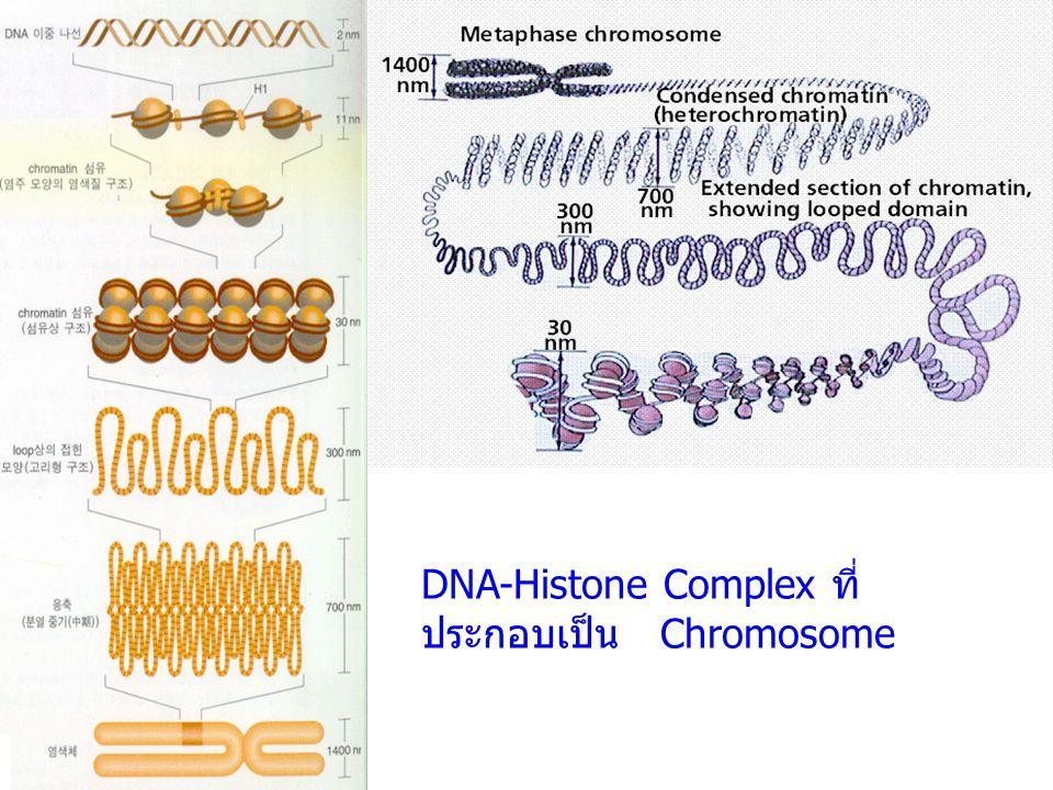DNA-Histone Complex ที่ประกอบเป็น Chromosome