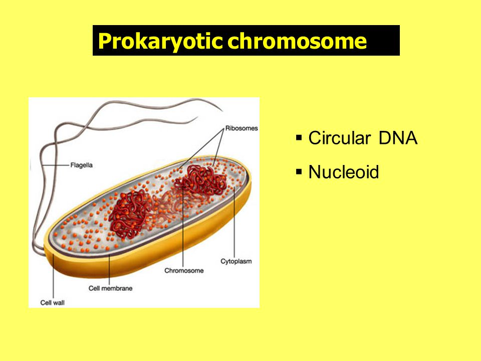 Prokaryotic chromosome