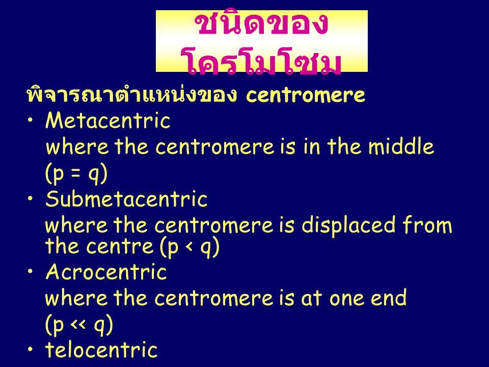 ชนิดของโครโมโซม พิจารณาตำแหน่งของ centromere Metacentric