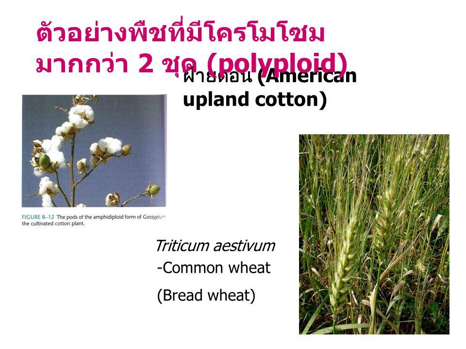 ตัวอย่างพืชที่มีโครโมโซมมากกว่า 2 ชุด (polyploid)
