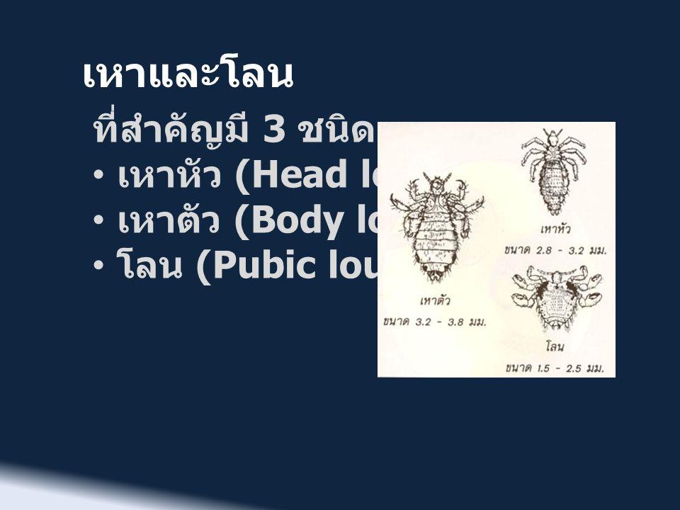 เหาและโลน ที่สำคัญมี 3 ชนิด เหาหัว (Head louse) เหาตัว (Body louse)