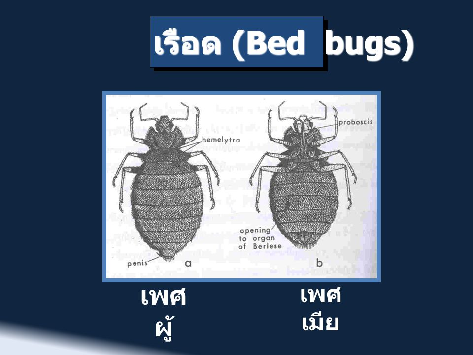 เรือด (Bed bugs) เพศผู้ เพศเมีย