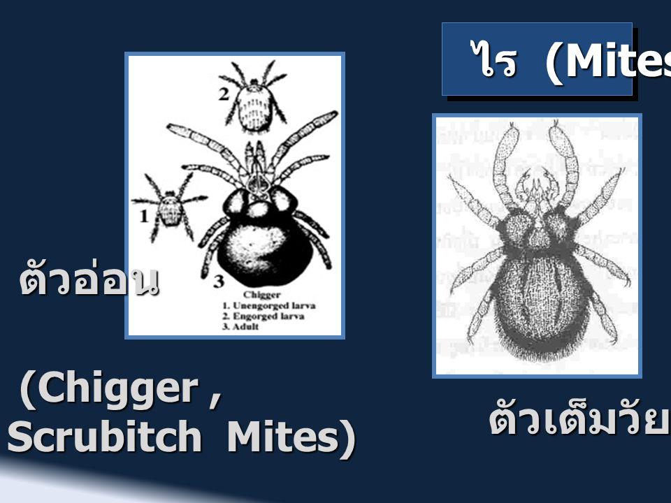 ไร (Mites) ตัวอ่อน (Chigger , Scrubitch Mites) ตัวเต็มวัย