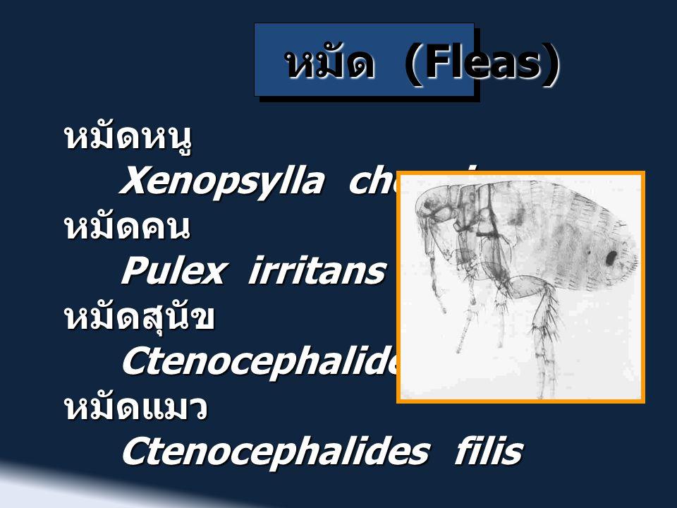 หมัด (Fleas) หมัดหนู Xenopsylla cheopis หมัดคน Pulex irritans