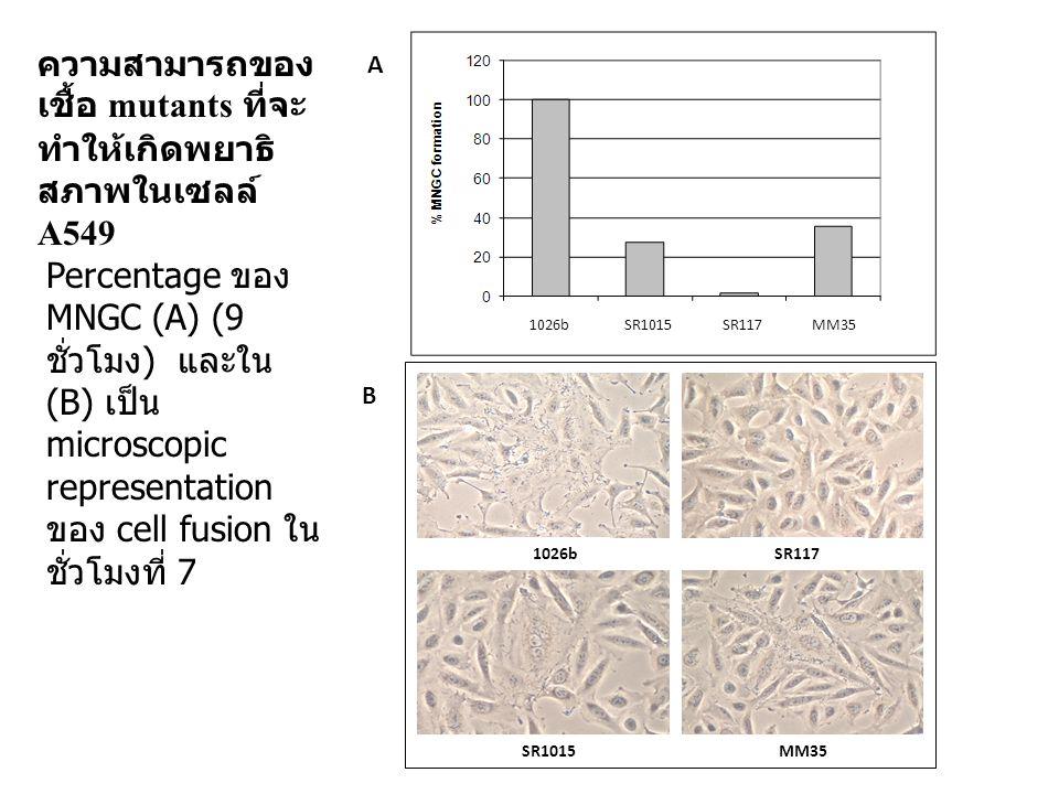 ความสามารถของเชื้อ mutants ที่จะทำให้เกิดพยาธิสภาพในเซลล์ A549