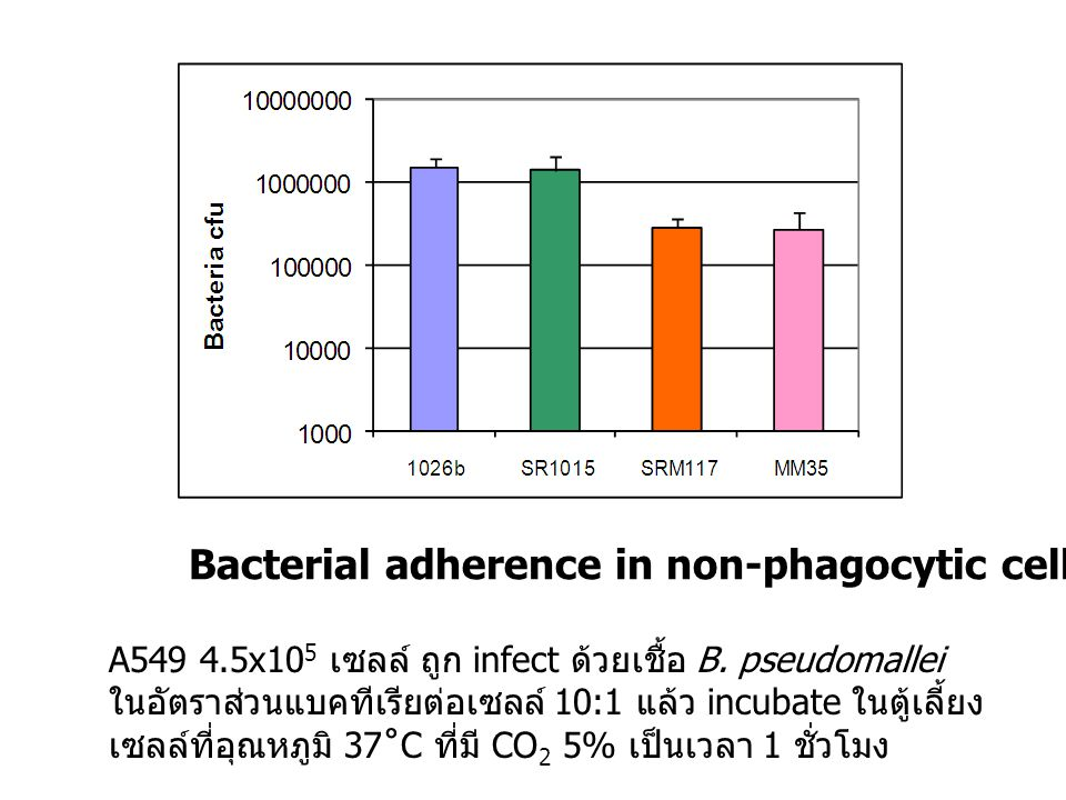 Bacterial adherence in non-phagocytic cell line (A549)