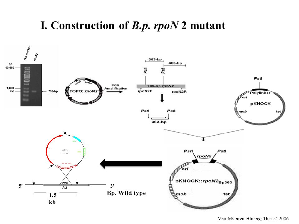 I. Construction of B.p. rpoN 2 mutant