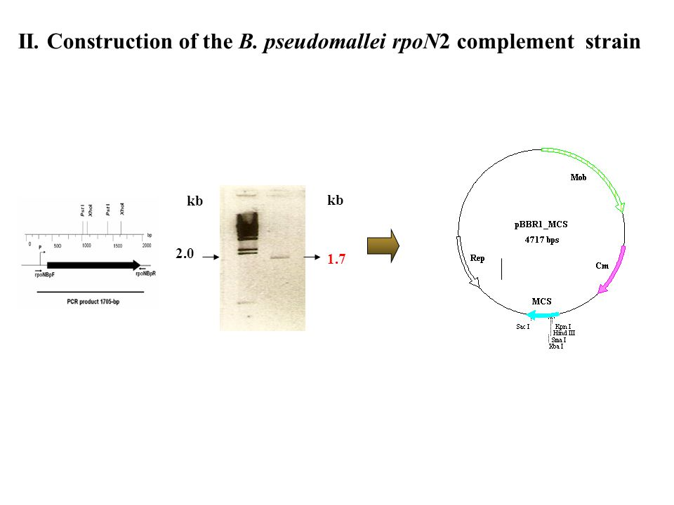 II. Construction of the B. pseudomallei rpoN2 complement strain