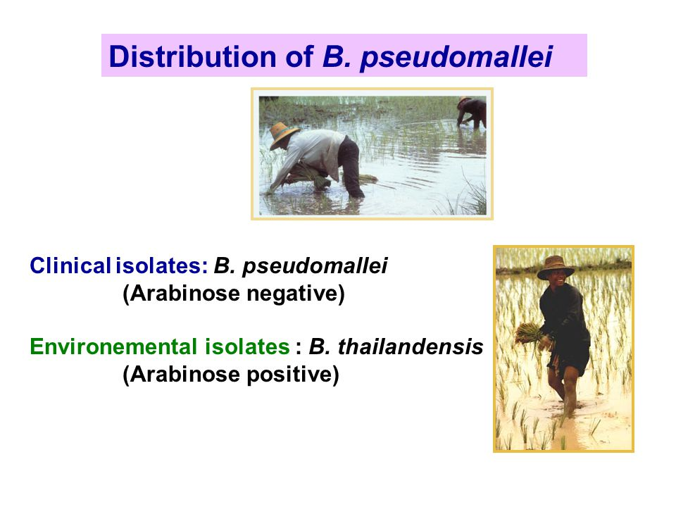 Distribution of B. pseudomallei