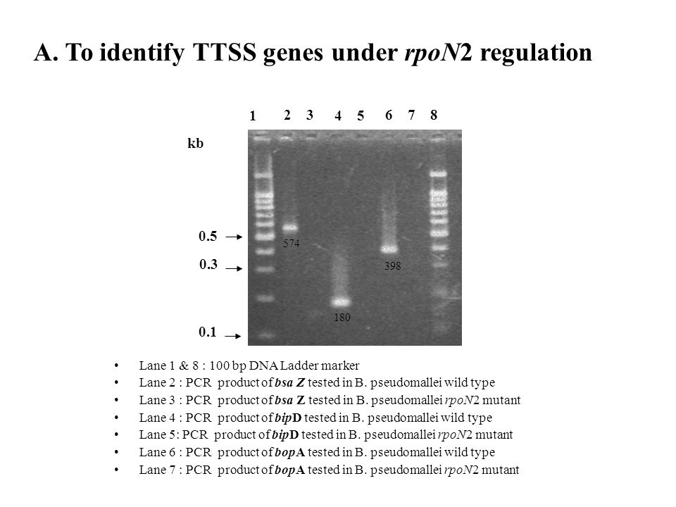 A. To identify TTSS genes under rpoN2 regulation