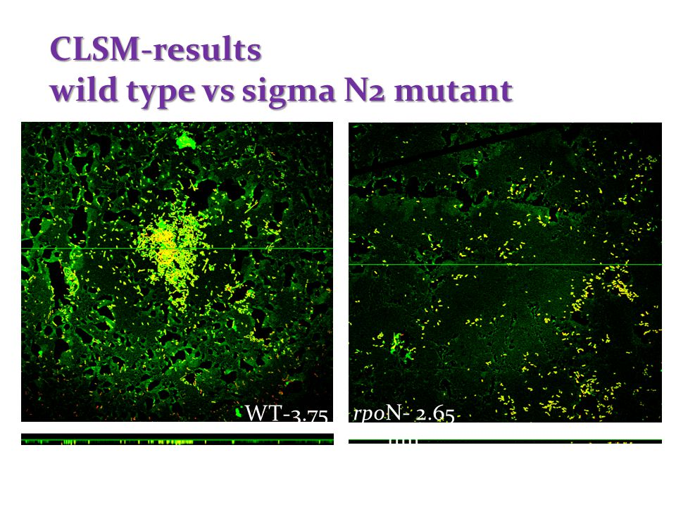 CLSM-results wild type vs sigma N2 mutant