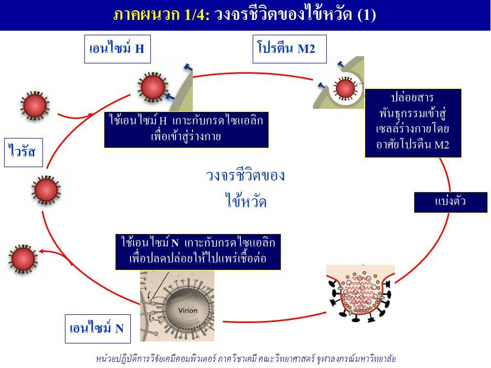 ภาคผนวก 1/4: วงจรชีวิตของไข้หวัด (1)