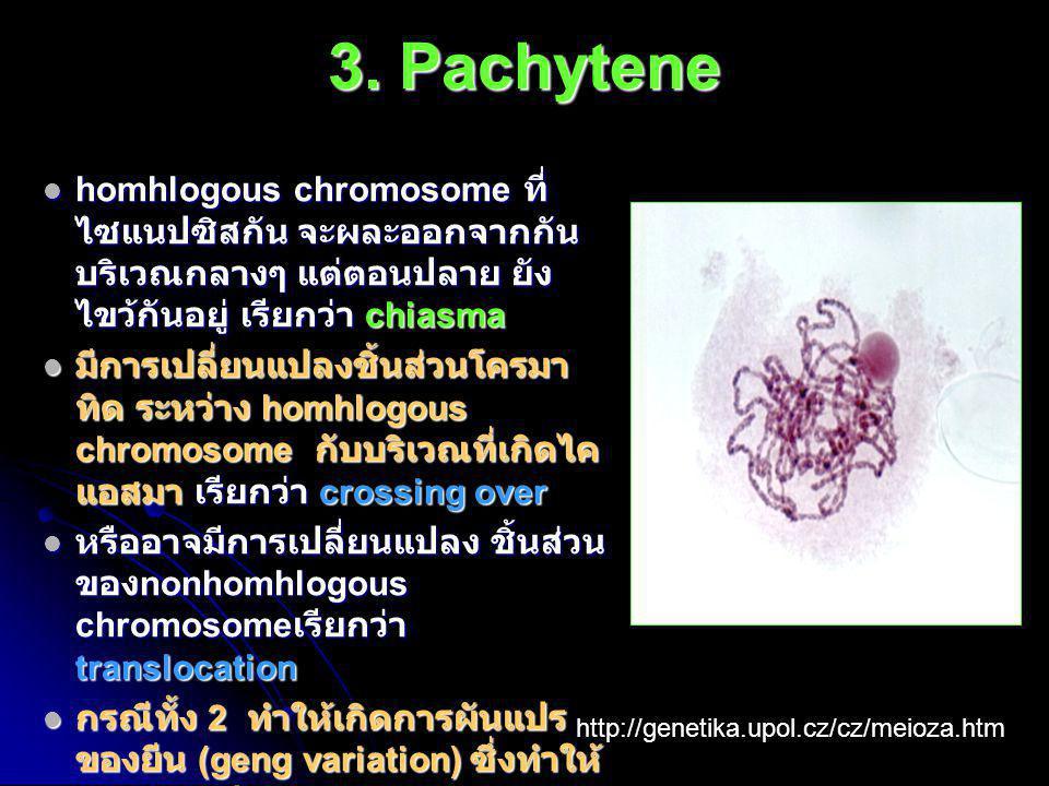 3. Pachytene homhlogous chromosome ที่ไซแนปซิสกัน จะผละออกจากกัน บริเวณกลางๆ แต่ตอนปลาย ยังไขว้กันอยู่ เรียกว่า chiasma.