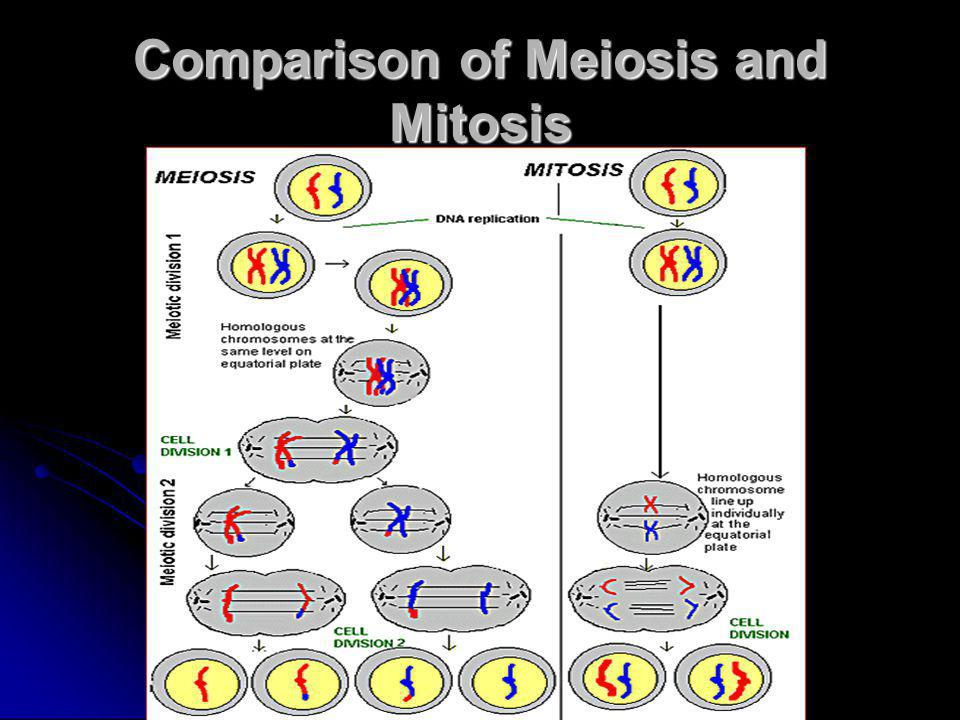 Comparison of Meiosis and Mitosis