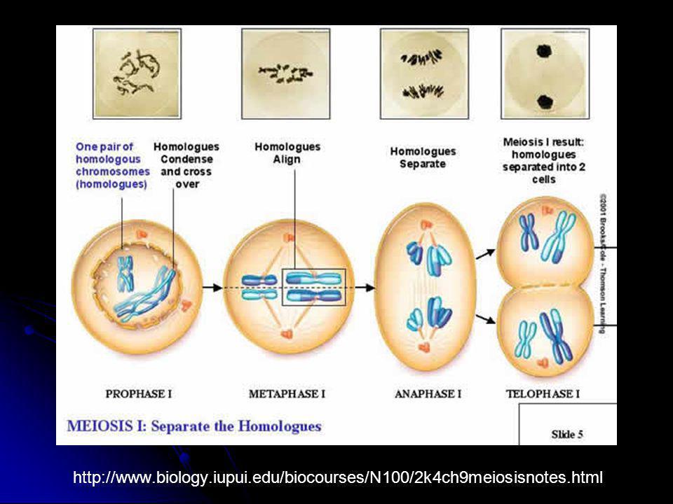 http://www. biology. iupui. edu/biocourses/N100/2k4ch9meiosisnotes