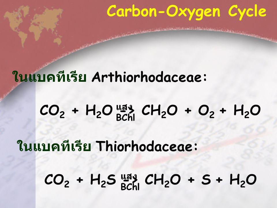 Carbon-Oxygen Cycle ในแบคทีเรีย Arthiorhodaceae: