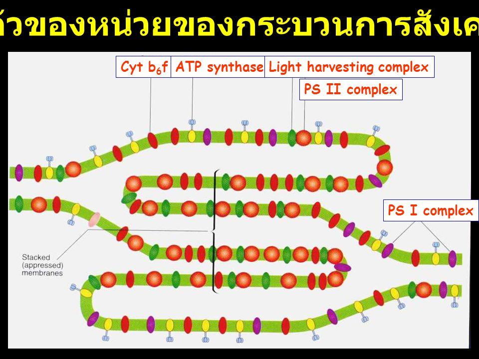 การเรียงตัวของหน่วยของกระบวนการสังเคราะห์แสง