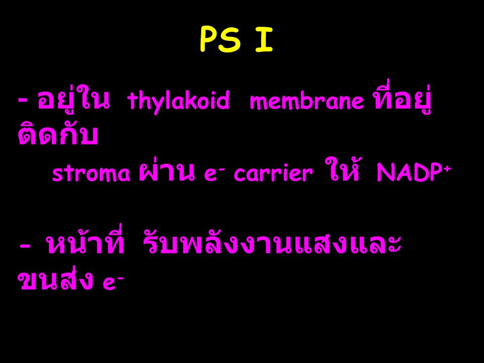 PS I - อยู่ใน thylakoid membrane ที่อยู่ติดกับ