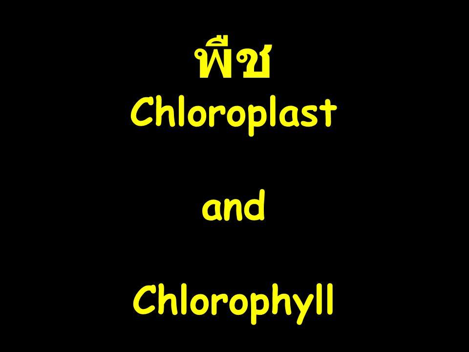 พืช Chloroplast and Chlorophyll