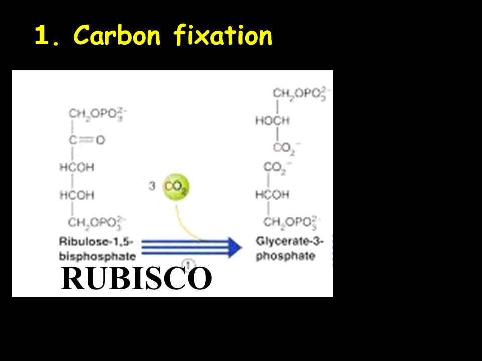 1. Carbon fixation RUBISCO