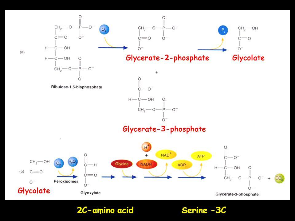 2C-amino acid Serine -3C Glycerate-2-phosphate Glycolate