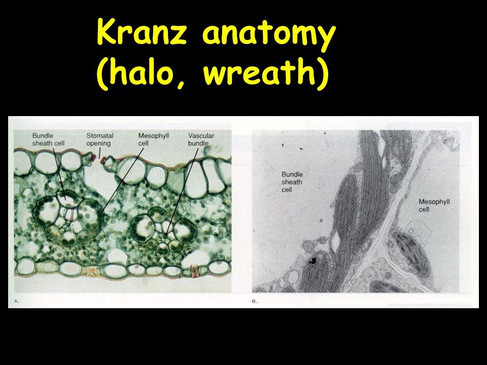 Kranz anatomy (halo, wreath)