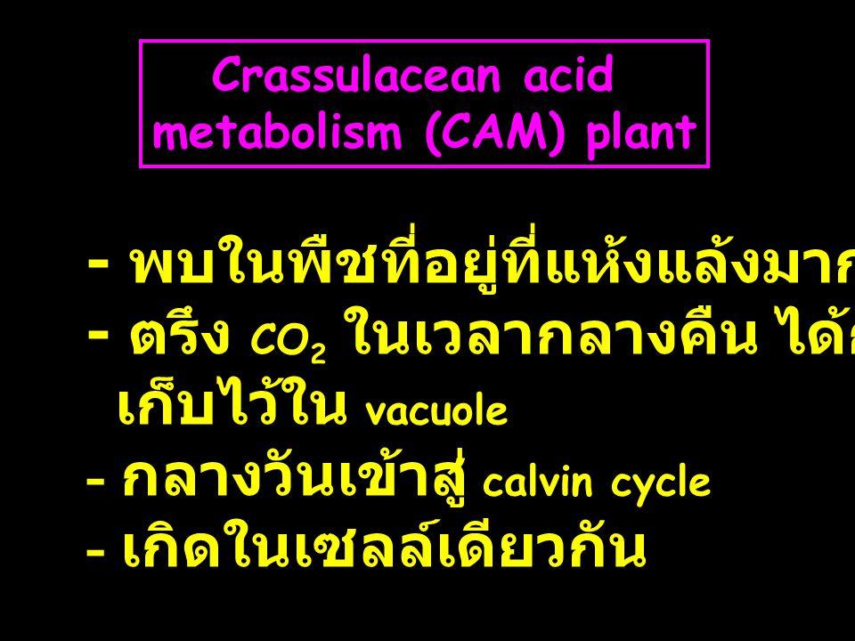 metabolism (CAM) plant