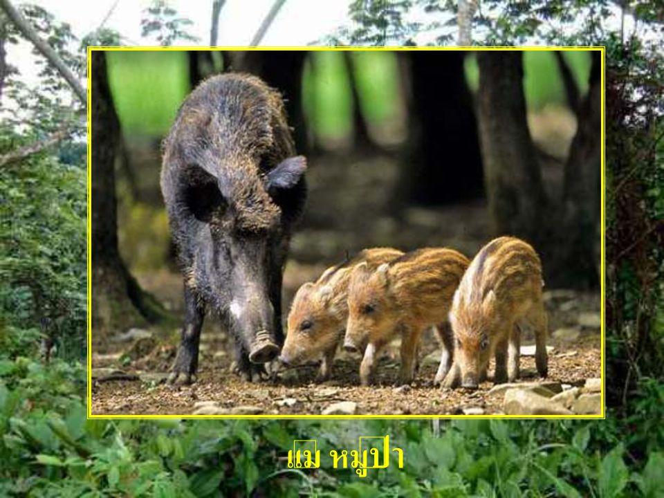 แม่ หมูป่า