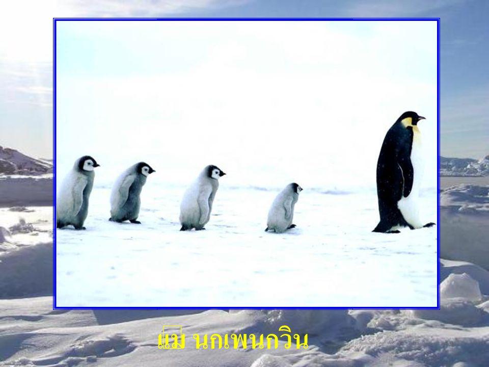 แม่ นกเพนกวิน