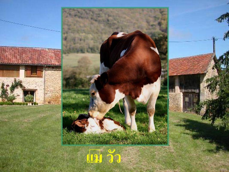แม่ วัว