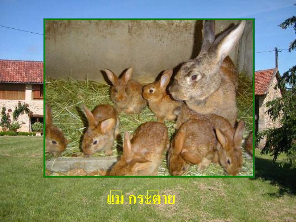 แม่ กระต่าย