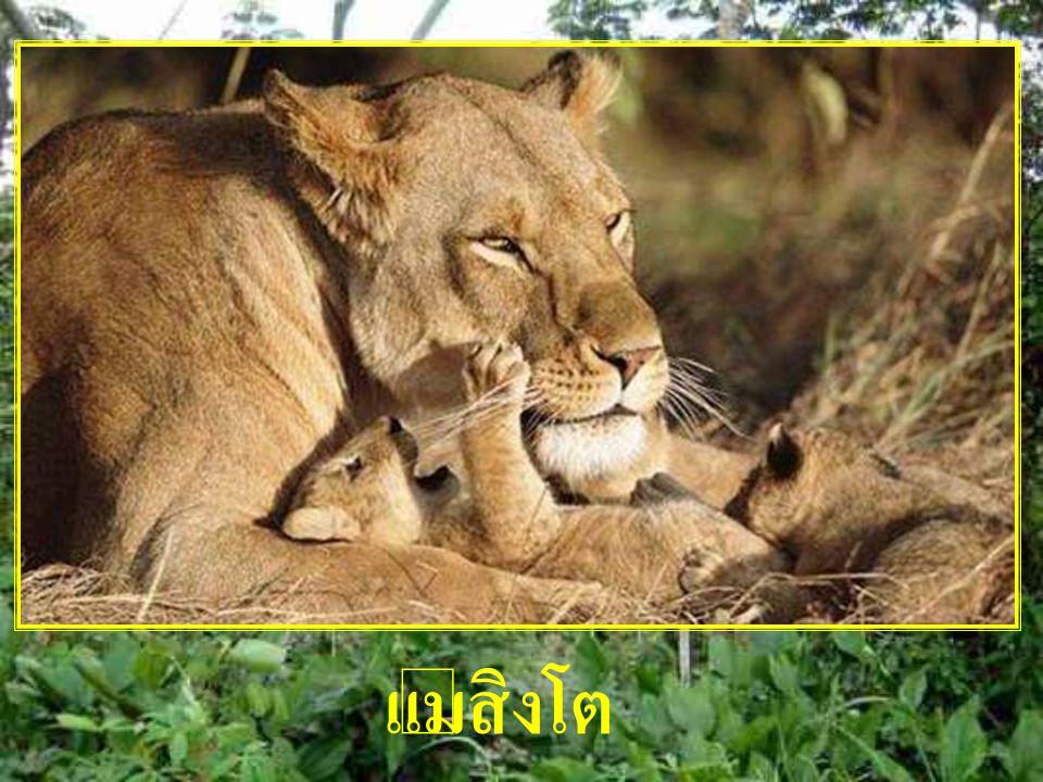 แม่สิงโต