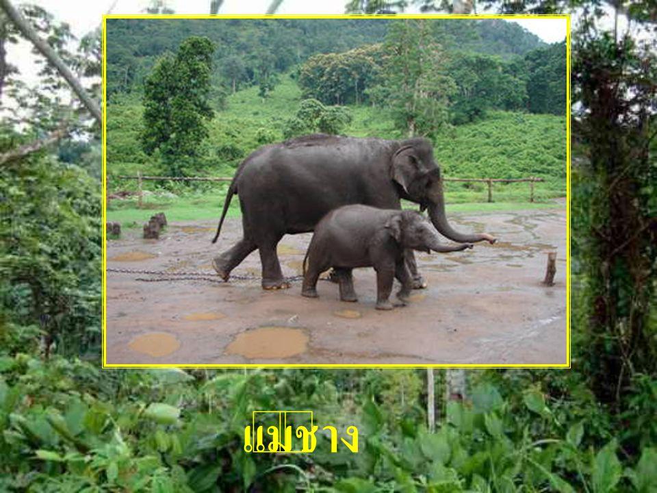 แม่ช้าง