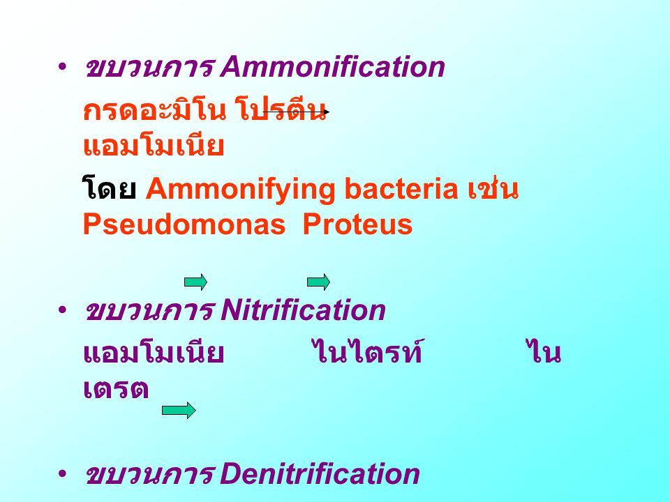 ขบวนการ Ammonification