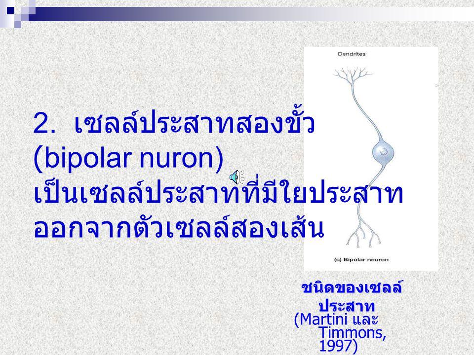 2. เซลล์ประสาทสองขั้ว (bipolar nuron) เป็นเซลล์ประสาทที่มีใยประสาท ออกจากตัวเซลล์สองเส้น