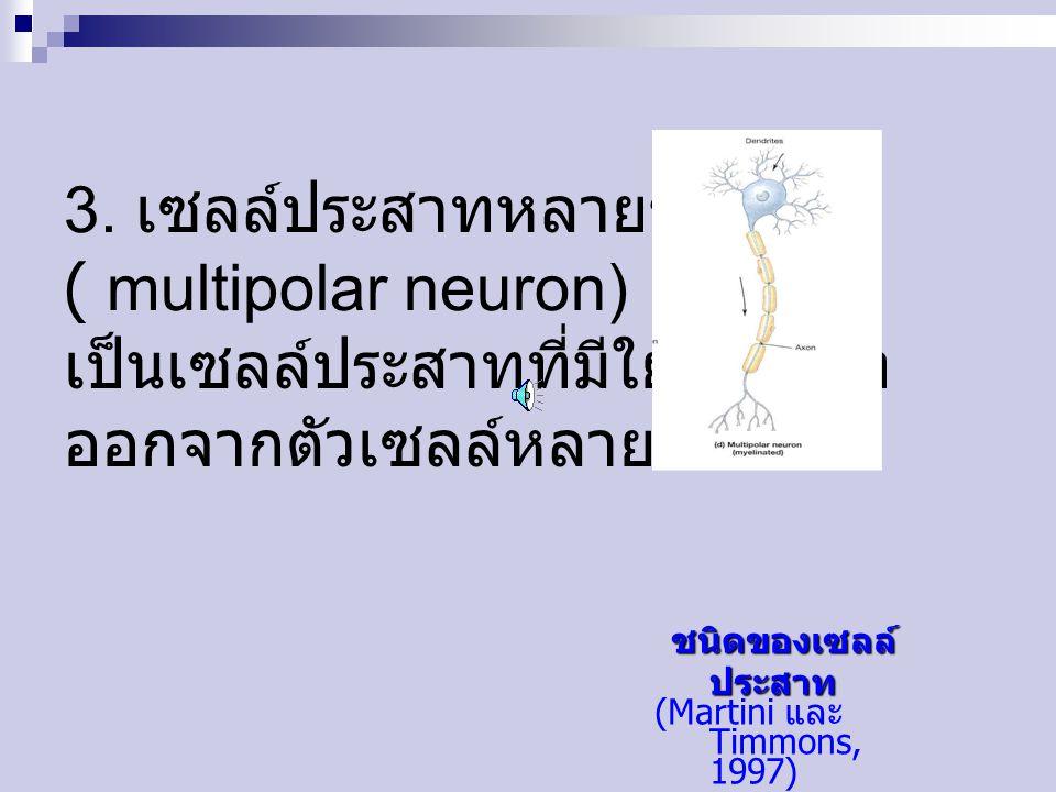 3. เซลล์ประสาทหลายขั้ว ( multipolar neuron) เป็นเซลล์ประสาทที่มีใยประสาท ออกจากตัวเซลล์หลายเส้น