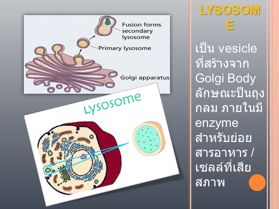 LYSOSOME เป็น vesicle ที่สร้างจาก Golgi Body ลักษณะป็นถุง กลม ภายใน มีenzyme สำหรับย่อย สารอาหาร / เซลล์ที่เสีย สภาพ.