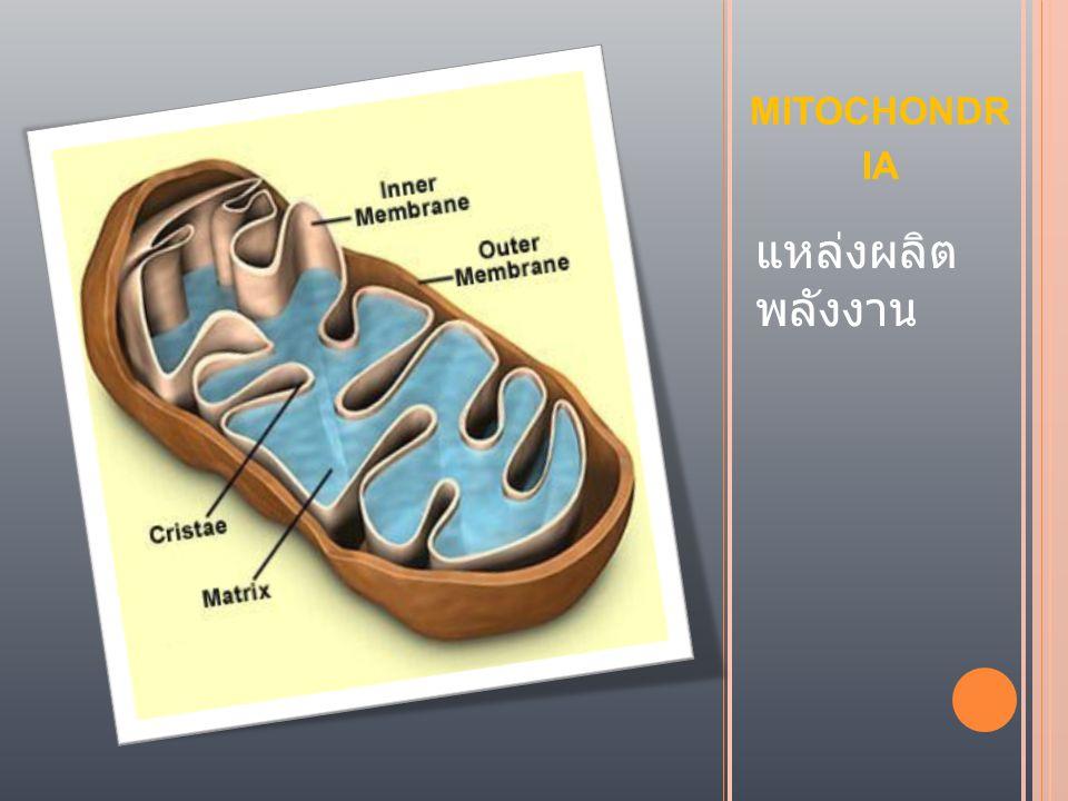 mitochondria แหล่งผลิต พลังงาน
