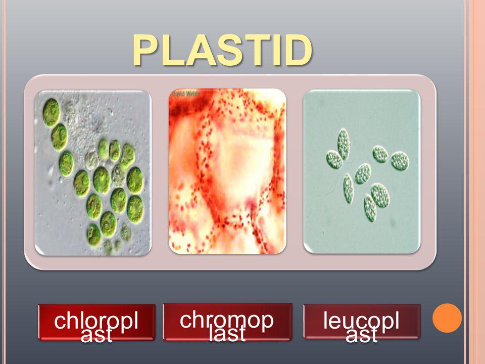 plastid chloroplast chromoplast leucoplast