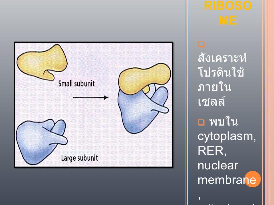 RIBOSOME สังเคราะห์ โปรตีนใช้ ภายใน เซลล์ พบใน cytoplasm, RER, nuclear membrane , mitochond ria, chloroplas t.