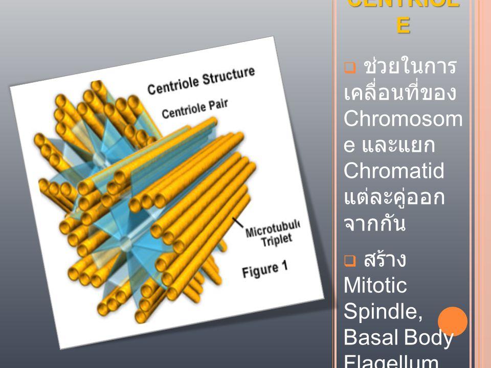 CENTRIOLE ช่วยในการ เคลื่อนที่ของ Chromosom e และแยก Chromatid แต่ละคู่ออก จากกัน.