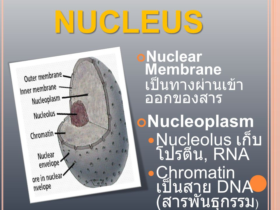 NUCLEUS Nucleoplasm Nucleolus เก็บโปรตีน, RNA
