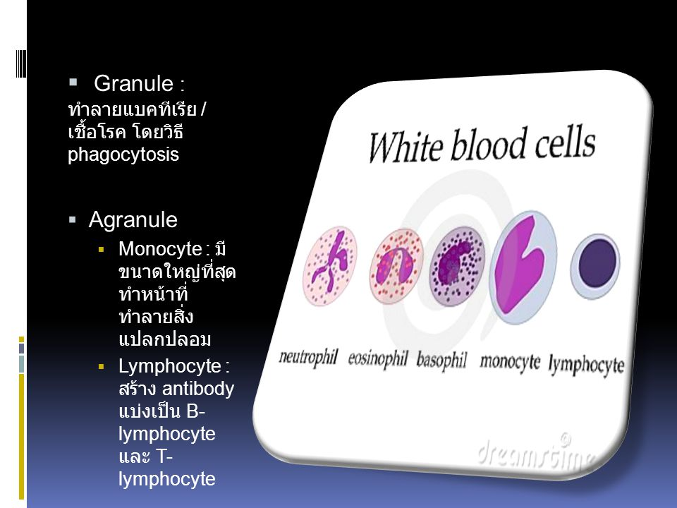 Granule : ทำลาย แบคทีเรีย / เชื้อโรค โดยวิธี phagocytosis