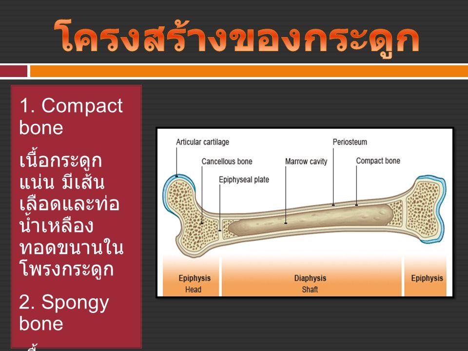 โครงสร้างของกระดูก 1. Compact bone