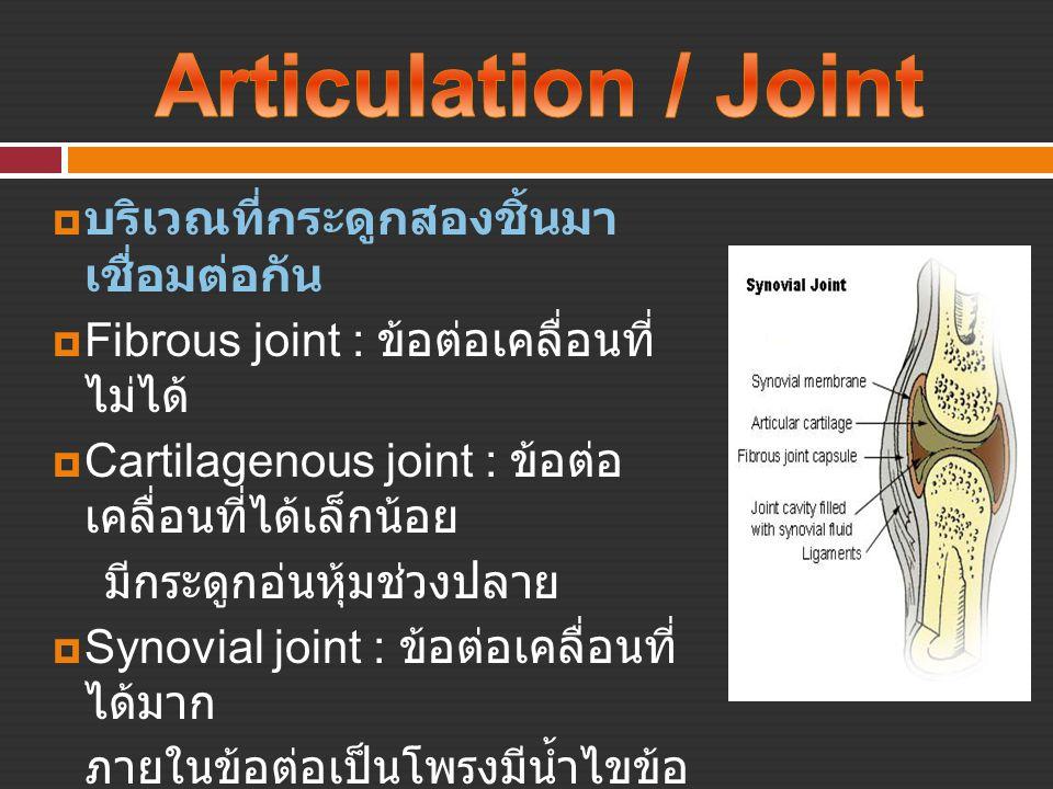 Articulation / Joint บริเวณที่กระดูกสองชิ้นมา เชื่อมต่อกัน