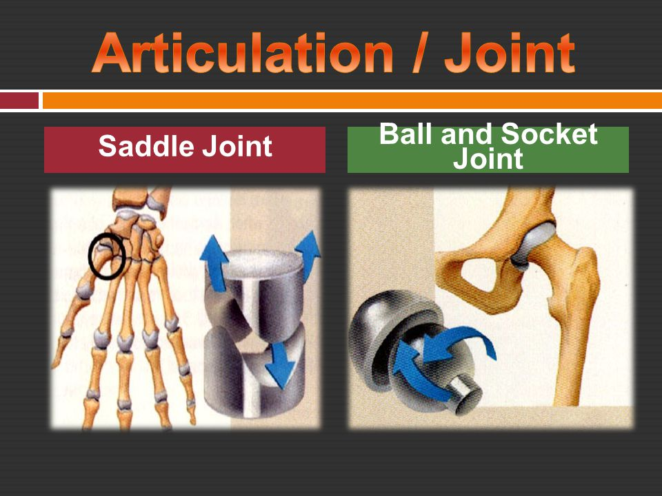 Articulation / Joint Saddle Joint Ball and Socket Joint