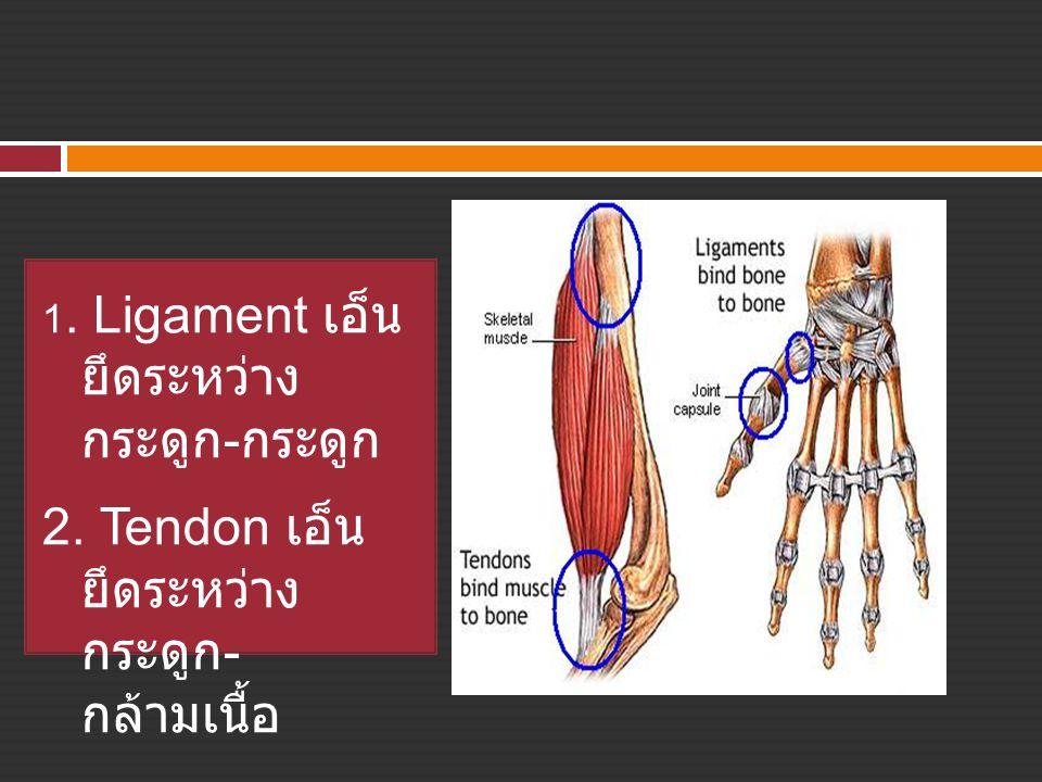 2. Tendon เอ็น ยึดระหว่าง กระดูก- กล้ามเนื้อ