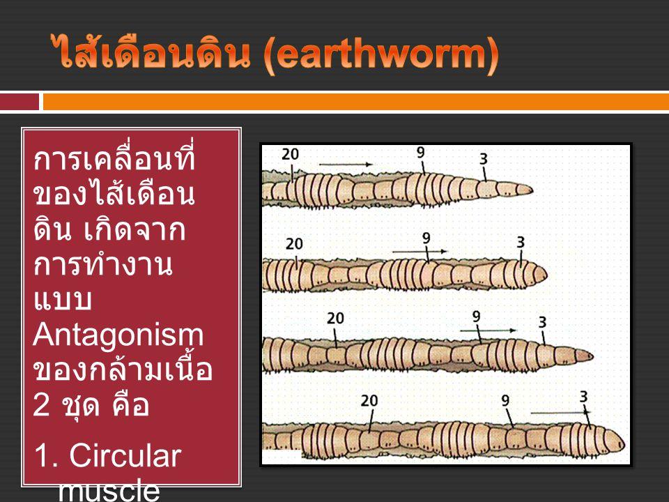 ไส้เดือนดิน (earthworm)
