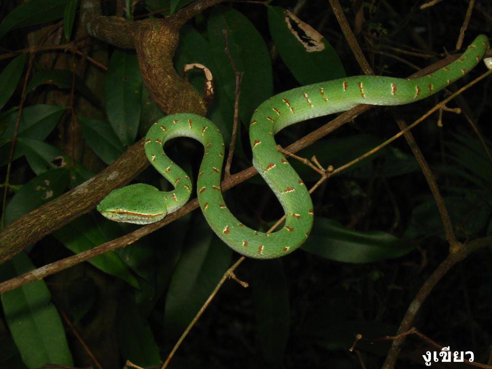 งูเขียวตุ๊กแก