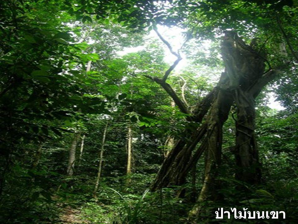 ป่าไม้บนเขาคอหงส์